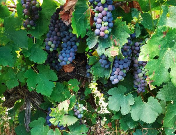 masdepradines-raisins